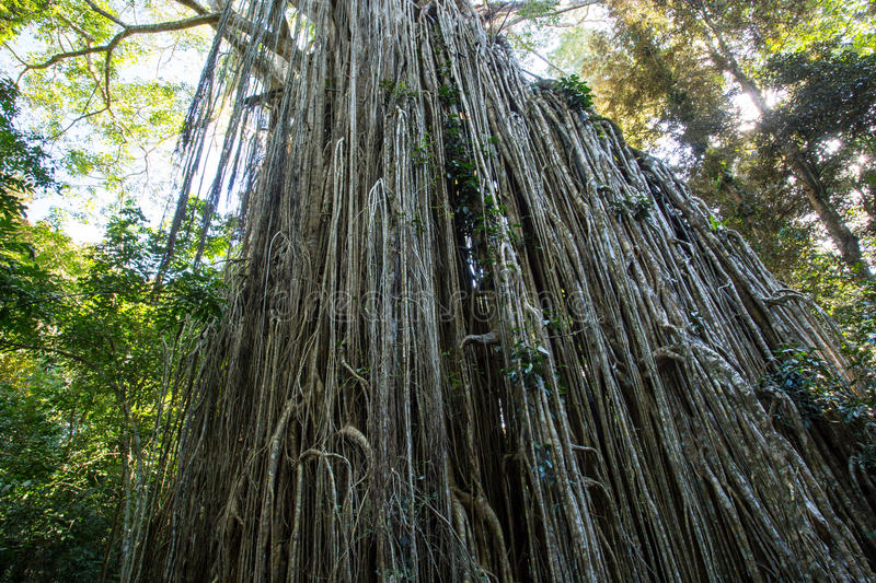 Curtain Fig Tree. The famous Curtain Fig Tree near Yungabarra in the Atherton Tablelands, Queensland, Australia royalty free stock images