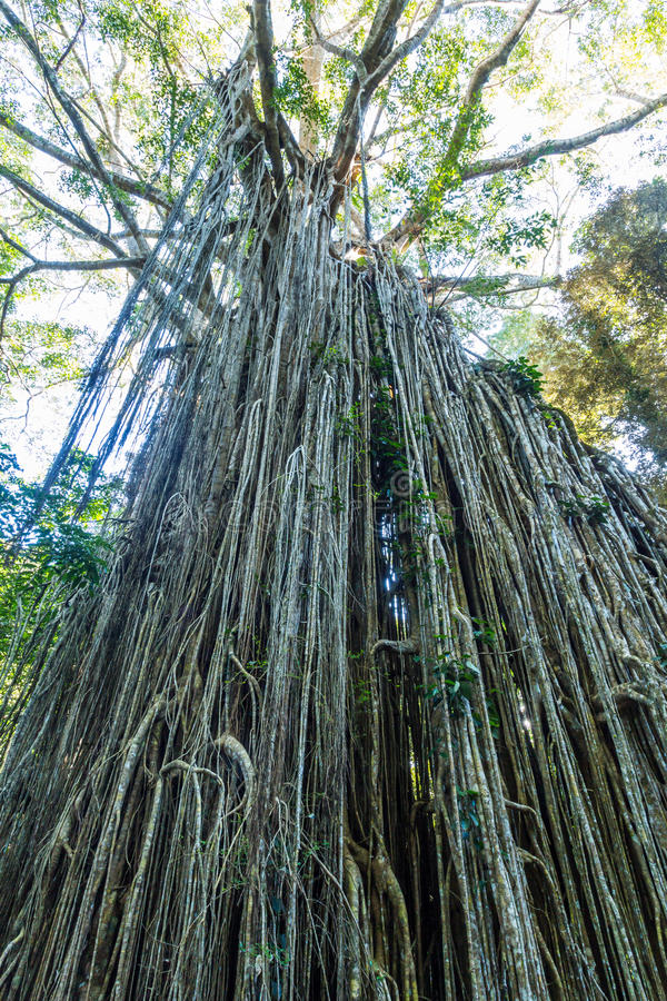Curtain Fig Tree. The famous Curtain Fig Tree near Yungabarra in the Atherton Tablelands, Queensland, Australia stock image