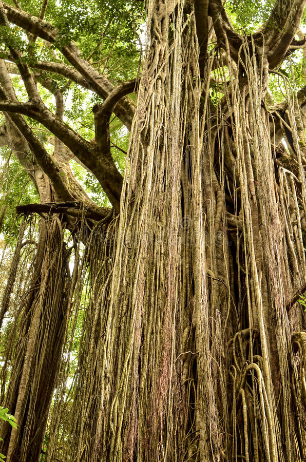 Curtain Fig Tree. The Curtain Fig Tree in Tropical North Queensland, Australia, is one of the best known attractions on the Atherton Tableland. It is located stock image