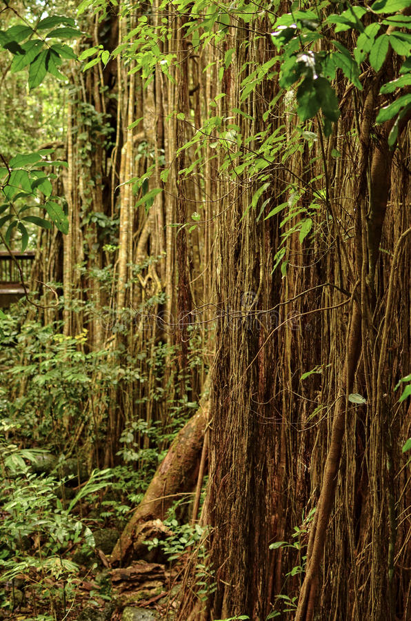 Curtain Fig Tree. The Curtain Fig Tree in Tropical North Queensland, Australia, is one of the best known attractions on the Atherton Tableland. It is located royalty free stock photos