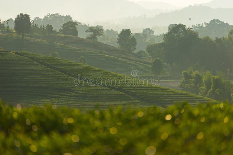 Curva do terraço do chá verde na província de Chiang Rai, Tailândia imagens de stock royalty free