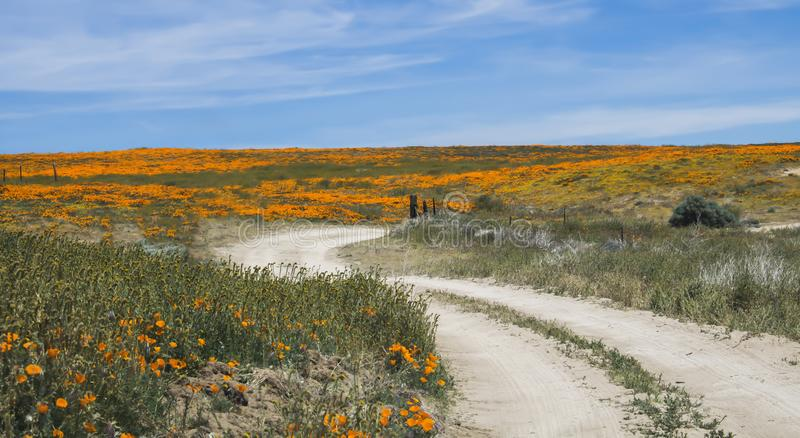 Curvar a estrada de terra conduz através de Poppy Field alaranjada brilhante sob o céu azul fotos de stock royalty free