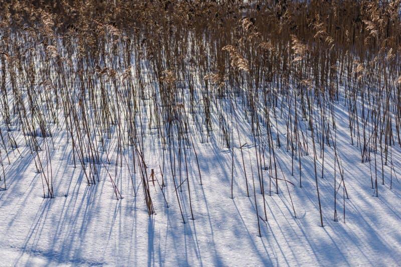 curvaturas velhas da grama seca no inverno imagem de stock royalty free