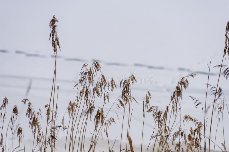 curvaturas velhas da grama seca no inverno fotografia de stock royalty free