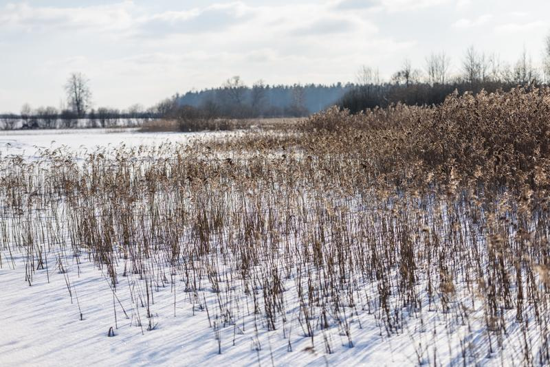 curvaturas velhas da grama seca no inverno fotos de stock royalty free
