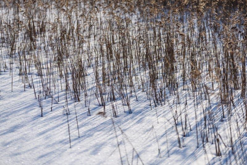 curvaturas velhas da grama seca no inverno imagem de stock