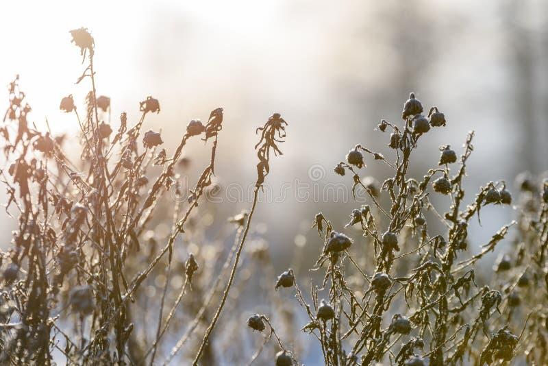curvaturas velhas da grama seca no inverno foto de stock royalty free