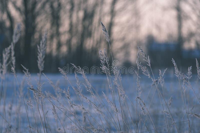 curvaturas velhas da grama seca no inverno - olhar do vintage retro fotografia de stock royalty free