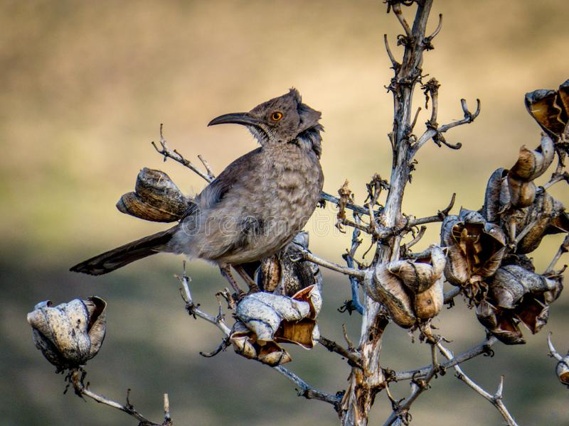 Curve-billed Thrasher Hanging on Against the Wind. A Curve-billed Thrasher hangs on with ruffled feathers as the wind buffets the bush on which he sits royalty free stock images