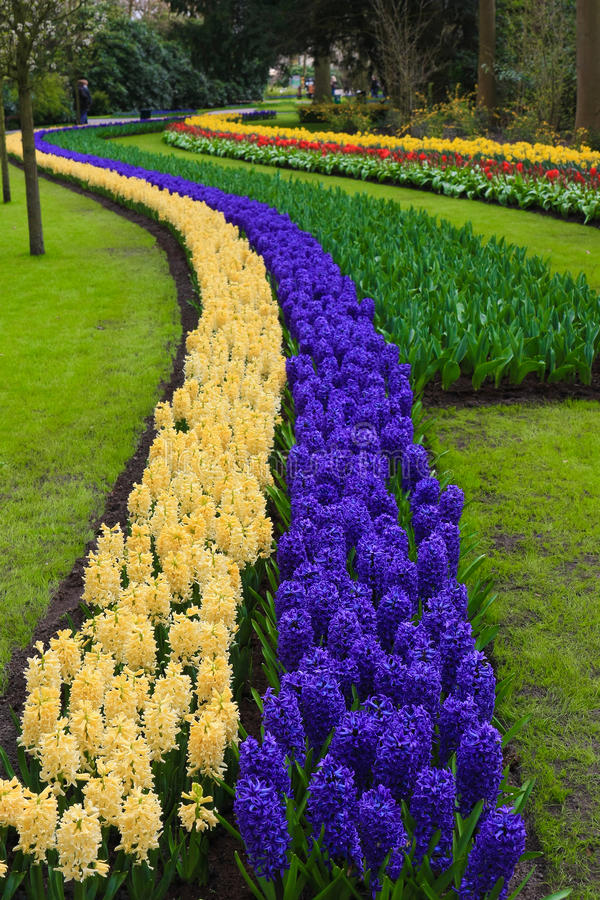 Path of hyacinth, Lisse, Netherlands royalty free stock photography