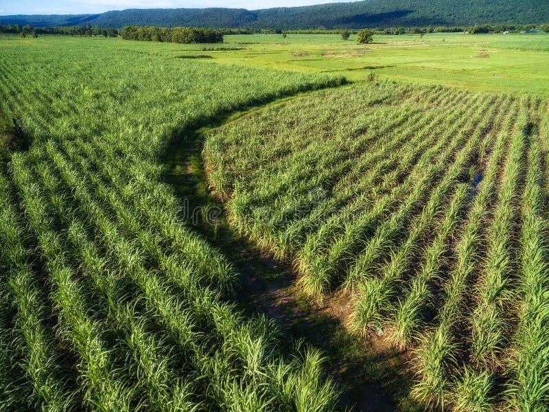Curve o caminho na exploração agrícola verde da cana-de-açúcar em Phitsanulok, Tailândia foto de stock royalty free