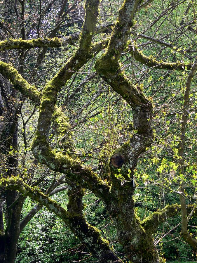 Bizarre tree full of moss. Curved branches with moss, tree and branch covered with moss royalty free stock photos