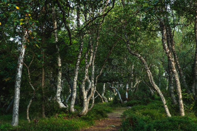 Curved Karelian birches in the forest on the Solovetsky Islands stock images
