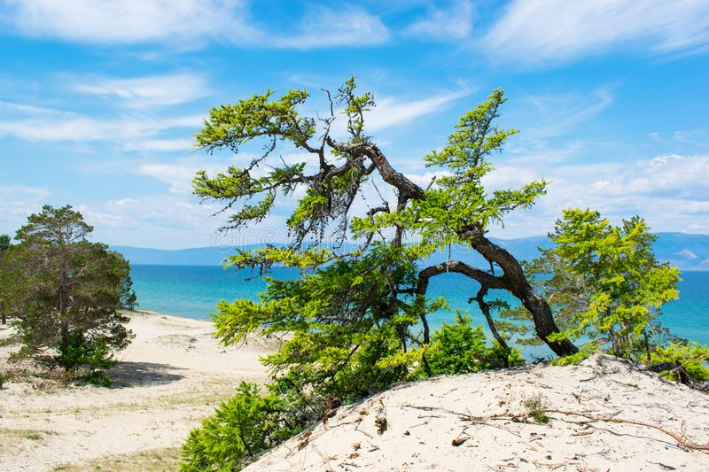 Curved pine trees on the sandy shore of the lake.  lake Baikal.  Landscape. Curved pine trees on the sandy shore of the lake. Landscape. Curved pine trees on royalty free stock image