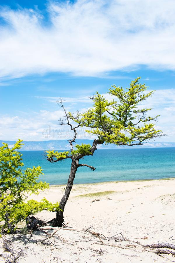 Curved pine trees on the sandy shore of the lake.  Landscape. Curved pine trees on the sandy shore of the lake on a Sunny summer day with blue sky and white royalty free stock photo