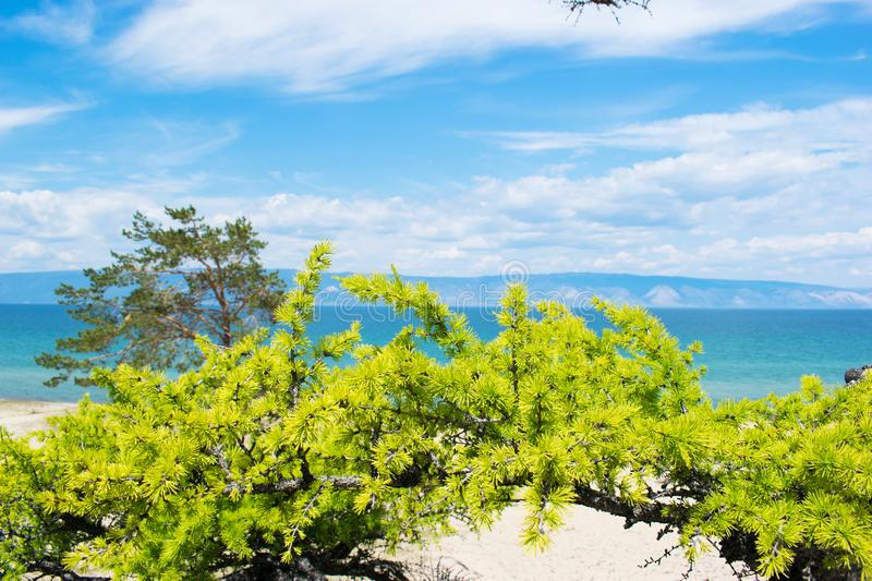 Curved pine trees on the sandy shore of the lake.  Landscape. Curved pine trees on the sandy shore of the lake on a Sunny summer day with blue sky and white stock photos