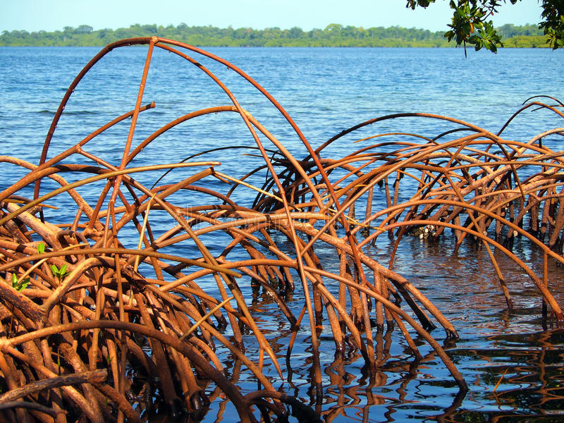Download Curved roots stock photo. Image of seascape, swamp, nature - 21905436