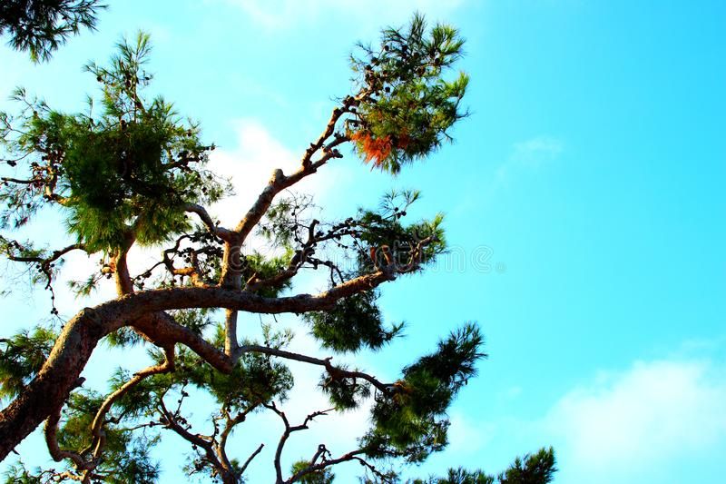 Curved sea pine branch with cones and the azure sky in the background royalty free stock images