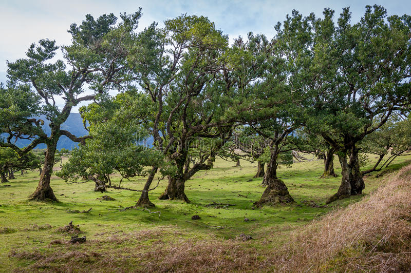 Curved trees of Fanal forest national park at Madeira island west. Curved trees of Fanal forest national park. Mountain plateau in the west part of Madeira royalty free stock photo