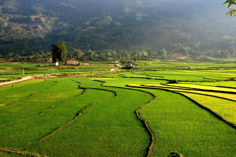 Curves of terrace rice field in the mountain stock images