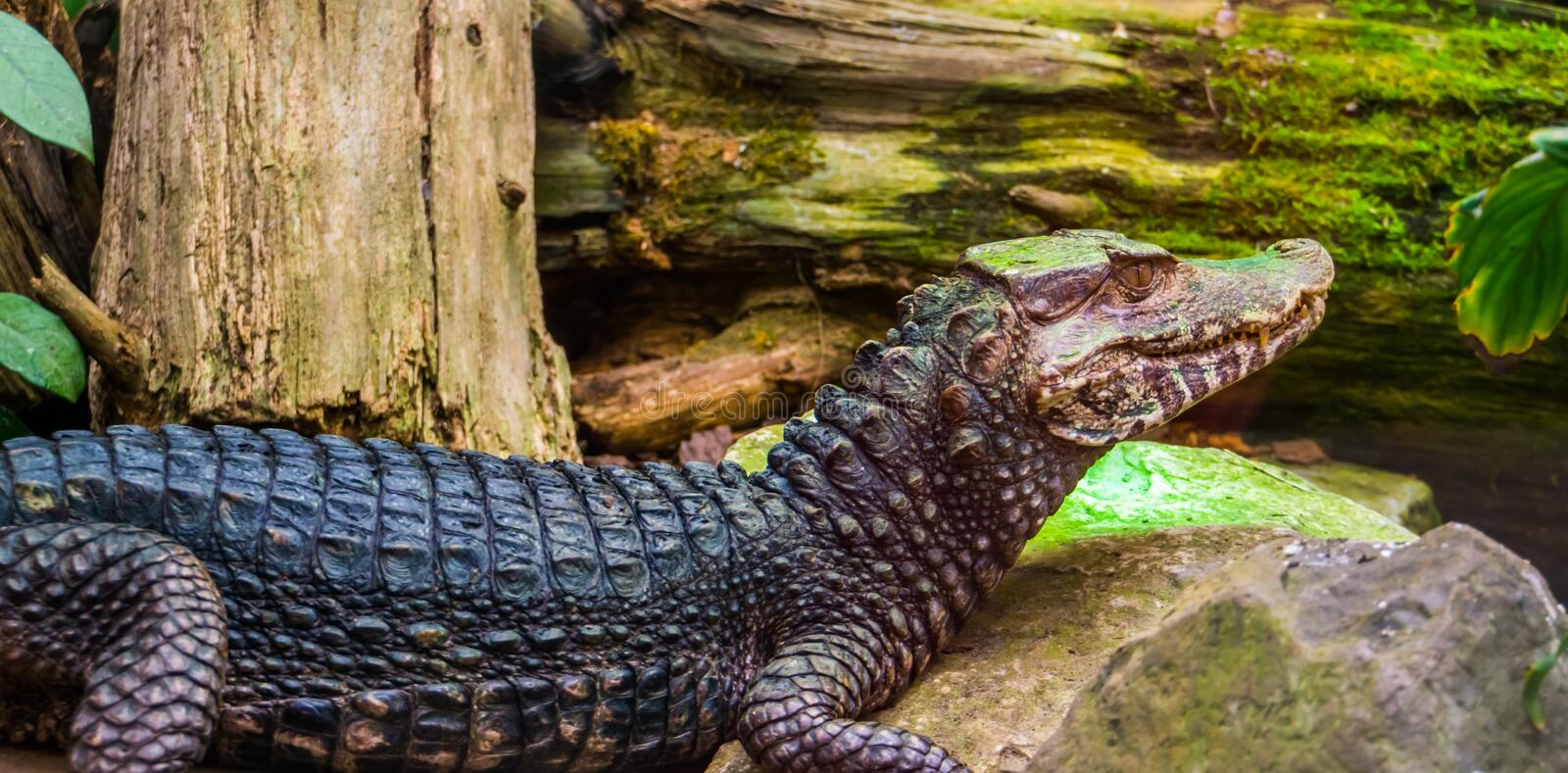 Curviers dwarf caiman crocodile sitting at the water side, popular zoo animal and pet in herpetoculture, Reptile specie from. A curviers dwarf caiman crocodile royalty free stock image