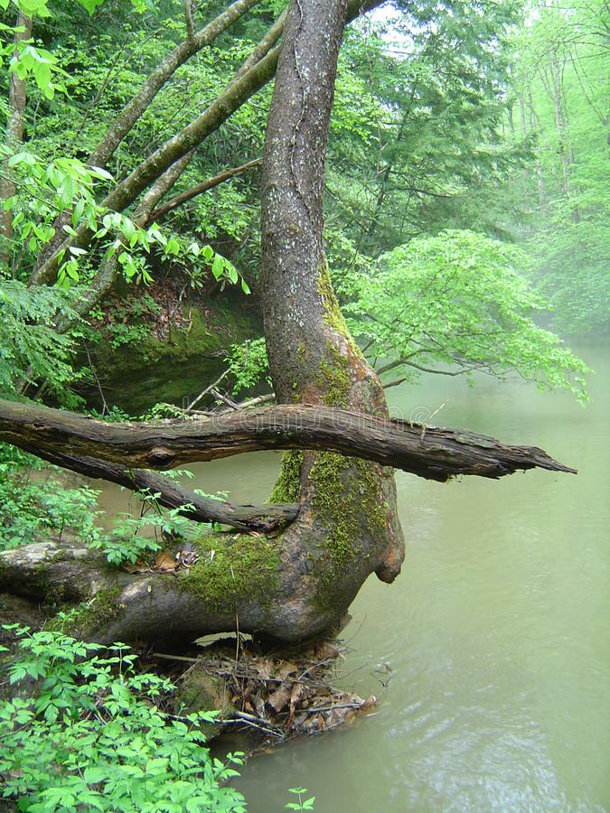 Curving tree trunk with pointing log on river royalty free stock image