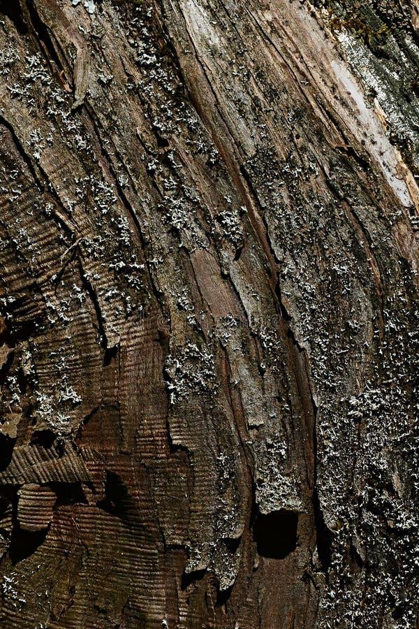 Curvy bark wood texture of coniferous hybrid tree of chinese juniper juniperus chinensis and Juniperus Sabina, called Juniperus Me stock photo