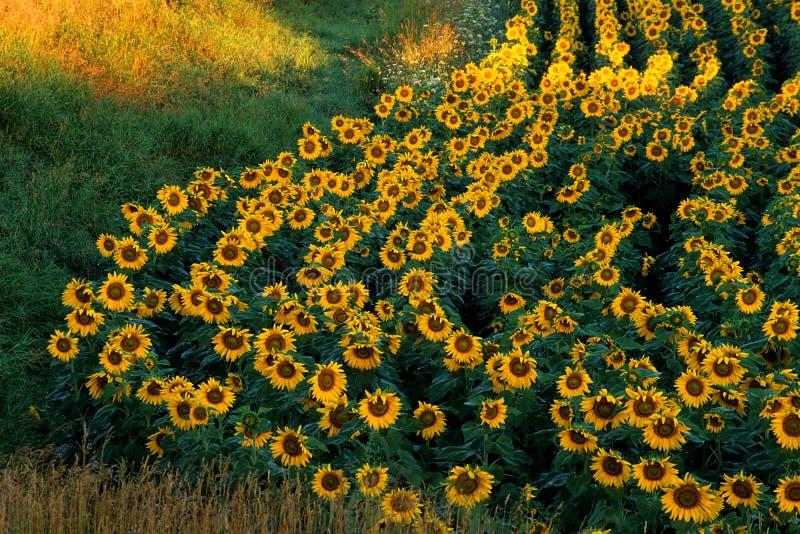 Curvy Sunflower Field stock photo
