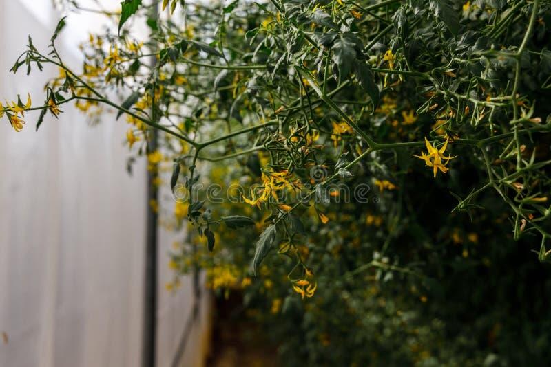 Cuscinetti e fiori di pomodoro di Cheery nel giardino fotografia stock