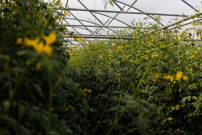 Cuscinetti e fiori di pomodoro di Cheery nel giardino fotografie stock