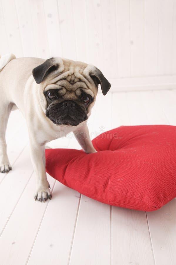 Cuscino di colore rosso del witjh del gioco del cane di Puggy immagini stock