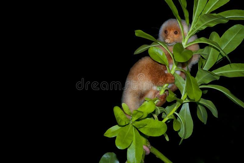 Cuscus印度尼西亚地方性猴子 图库摄影