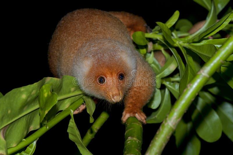 Cuscus印度尼西亚地方性猴子 库存图片