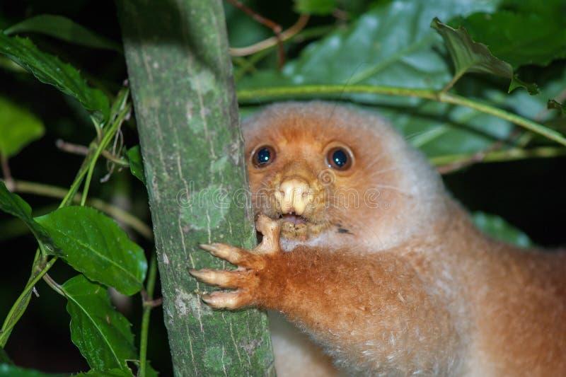 Cuscus印度尼西亚地方性猴子 免版税库存照片