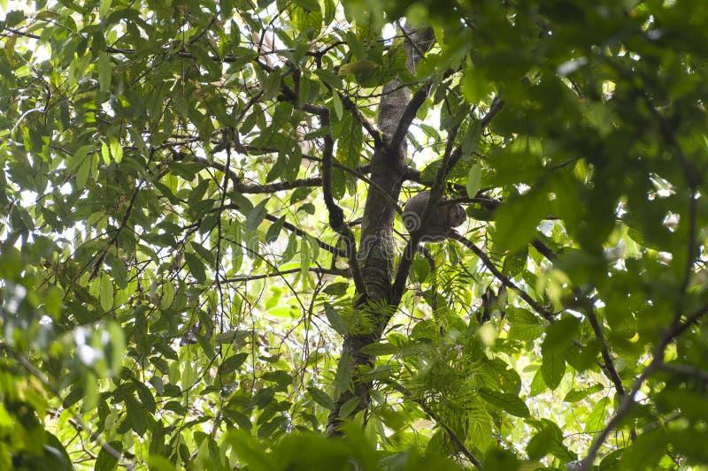 cuscus是一个大有袋动物的当地人到巴布亚新几内亚的热带海岛 免版税库存图片
