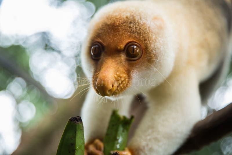 Cuscus mangeant la banane images libres de droits