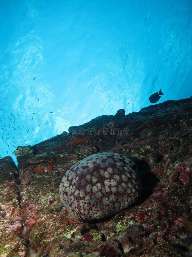 Cushion sea star stock images
