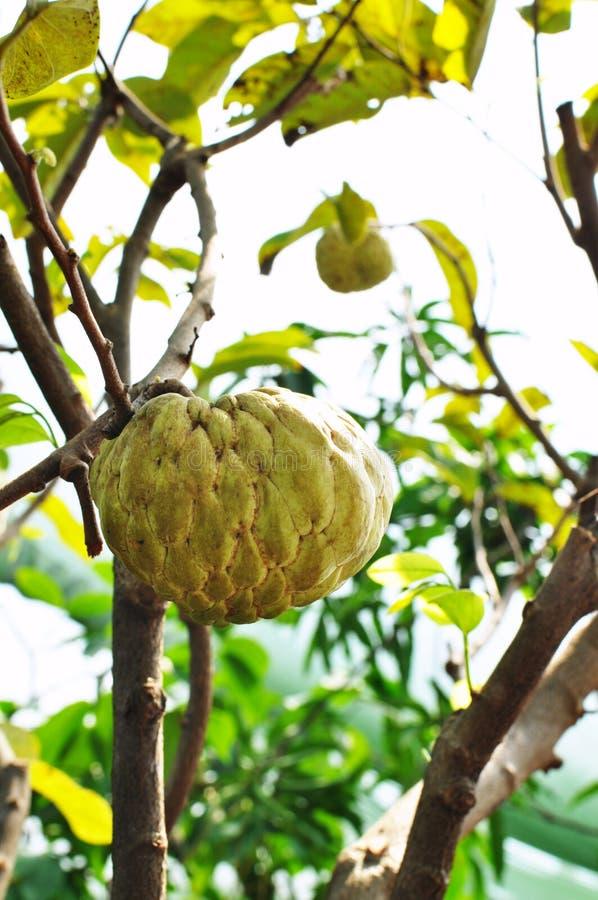 Download Custard Apple Fruit Tree In The Garden Stock Image - Image: 20471509