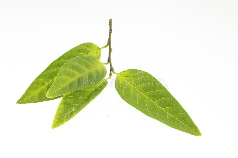 Custard apple leaves. Isolated on a white background royalty free stock images