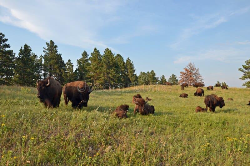 Custer Buffalo photo libre de droits