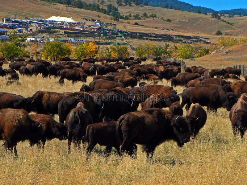 Custer State Park Annual Buffalo Bison Roundup royaltyfri bild