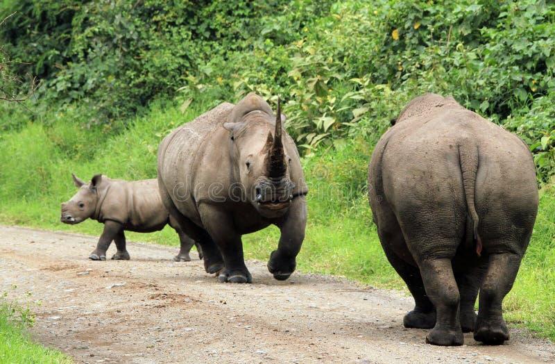 Custody Dispute. White Rhinos (Ceratotherium simum) Jousting, Lake Nakuru, Kenya stock photography