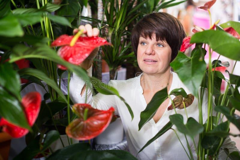 Customer choosing anturion. Woman customer choosing red anturion to buy in flower shop stock photos