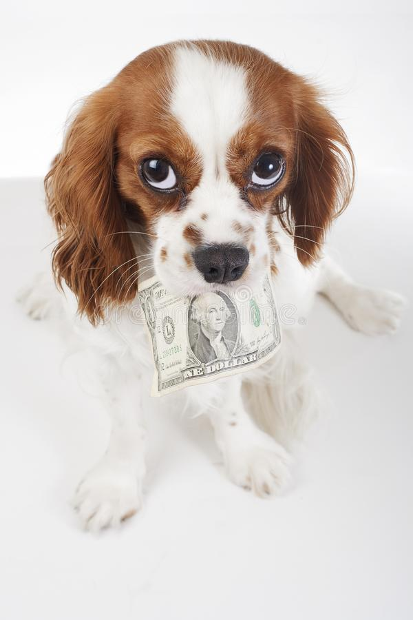 Custos do cão Custos animais do animal de estimação Persiga guardar a nota de dólar do dinheiro no fundo branco isolado Foto do e fotografia de stock royalty free