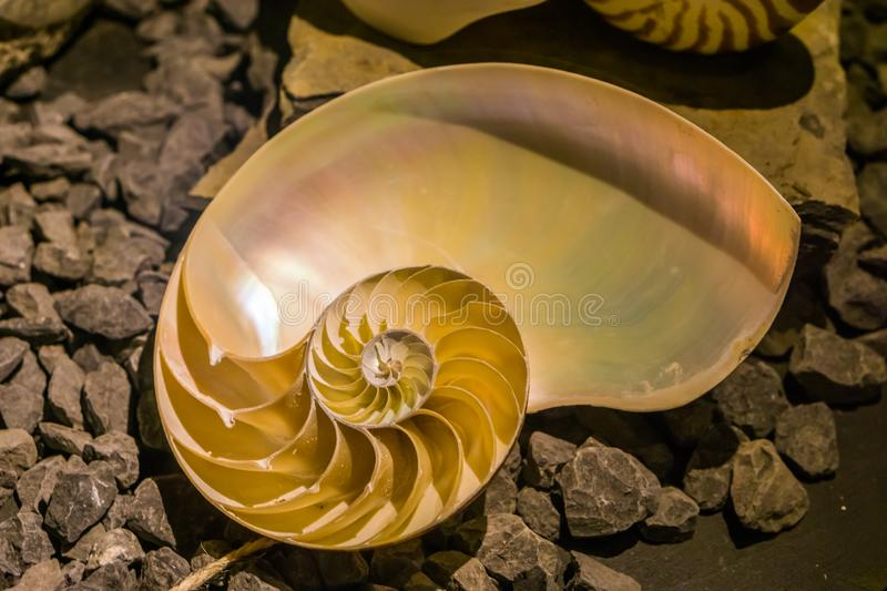 Cut away of a chambered nautilus shell, mother of pearl shell, popular cephalopod. A cut away of a chambered nautilus shell, mother of pearl shell, popular royalty free stock image