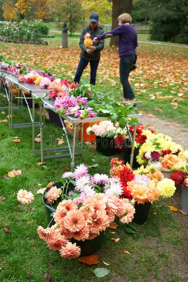 Cut Dahlias for sale. Public park. End of Dahlia season. Cut Dahlias of different varieties in buckets and on tables for sale. Women composing a bouquet. October stock image
