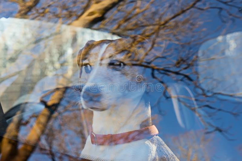 Cut dog puppy left alone in locked car stock photo