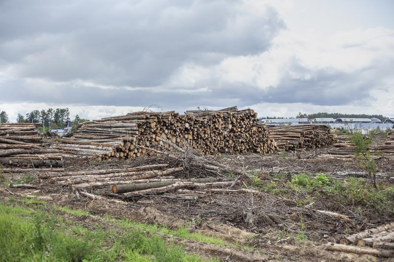 Cut down forest. Harvesting logs. stock photo