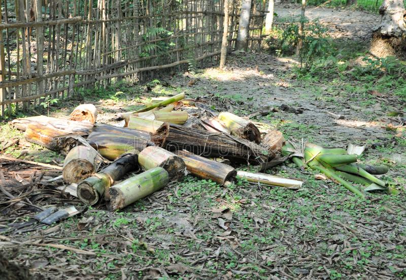 Cut down pieces of a banana tree for household use seen in a village.. stock image