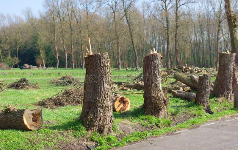 Cut down trees. Couple of cut down poplar trees stock photos